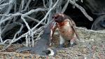 Erkek penguen, eşini başka bir erkek penguenle yakalayınca ortalığı savaş alanına çevirdi