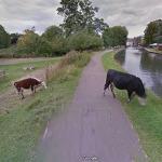 Google Maps gizliliği abartıp ineğin yüzünü bulanıklaştırdı!