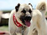Zengin Arapların son gözdesi kangal köpekleri yurt dışına çıkamıyor