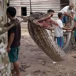Yürek yemiş de gelmiş: 7 metrelik dev pitonu güreşerek öldürdü