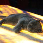 İngiliz kedisi 'Moka' Tokat'taki iş yerinin maskotu oldu