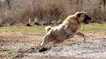 İtalya'da Sivas Kangal cinsi köpeklerin kullanılması çağrısı