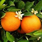 Portakal cilde iyi gelir mi? Her gün muhakkak 1 tane portakal tüketin