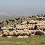 Köylülerin yayla mesaisi: Hayvanlarını verimli topraklara götürüyorlar