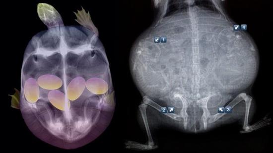 Görünce çok şaşıracağınız hamile hayvanların ultrason görüntüleri
