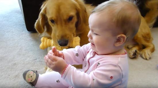 Oyuncağı paylaşamayan golden ve bebek!