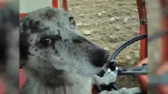 Traktörle tarla süren köpek sosyal medyayı salladı