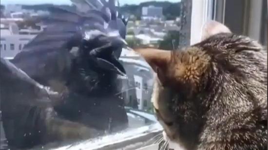 Kediye saldırmaya çalışan yürek yemiş karga