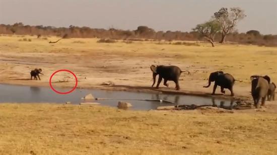 Timsahların kanlı planını bozan yavru fil