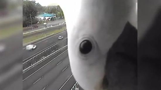 Meraklı papağan trafik kamerasına takıldı