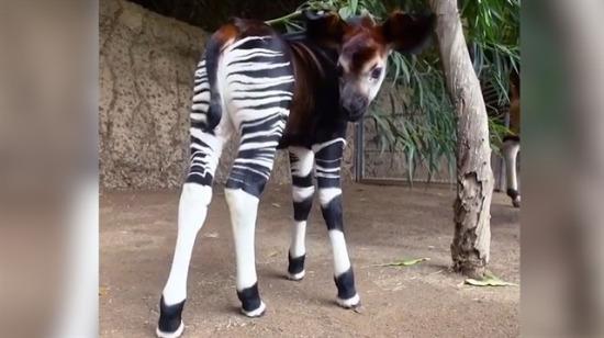 Hayvanlar aleminin en kafa karıştırıcı elemanı: Okapi