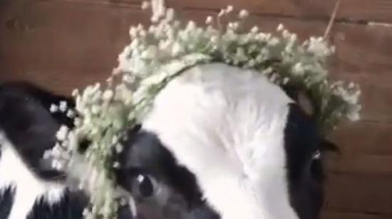 Bu ineğin sütü pembe akıyodur