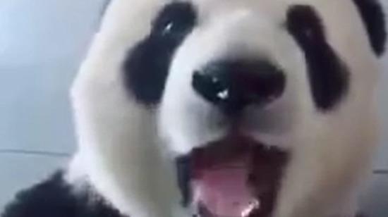 İnsanın bambu yiyesi geliyor