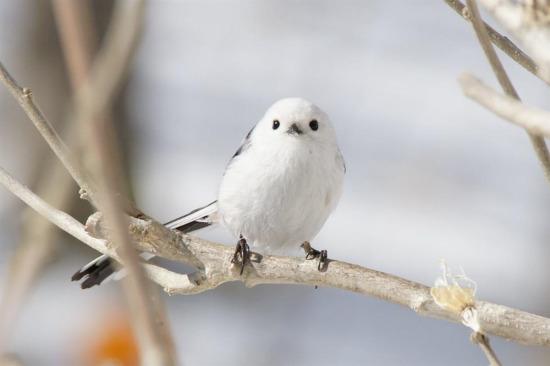 Shima-Enaga kuşunun muhteşem güzelliği