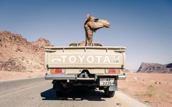Ürdün'de kamyon arkasında yolculuk yapan deve