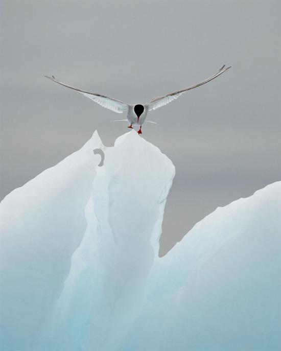 Svalbard Sahili'nde buz dağına inen kuşlardan biri