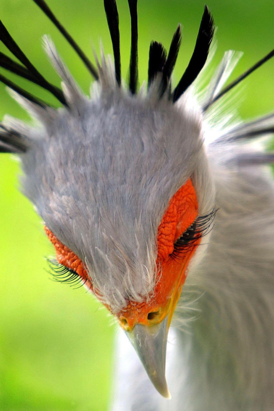 Kirpiklerine destan yazılır... Sekreter kuşu