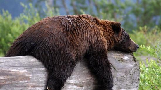 Düşünceli halleriyle Ali Rıza Bey'i andıran ayıların birbirinden değişik halleri
