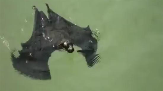 Yeni bir yüzme stili deneyen yarasa