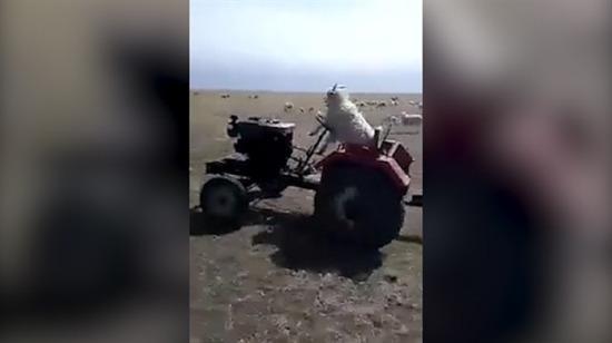 Traktör kullanan keçi
