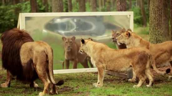 Aslanlar aynada kendilerini görünce nasıl tepki verir?