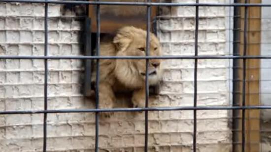 İnsanlardan nefret eden aslan
