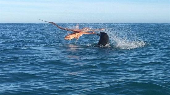 Deniz aslanı, ahtapotun kolunu kopardı!