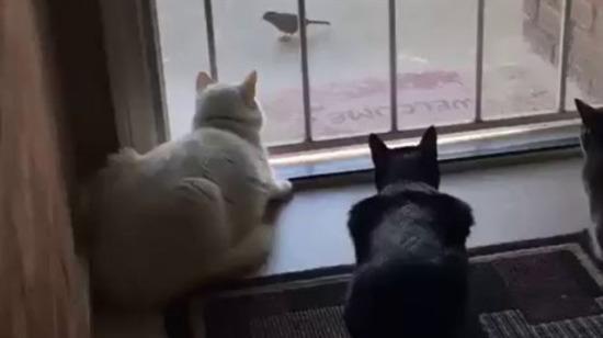 Kedilere kalp krizi geçirten köpek