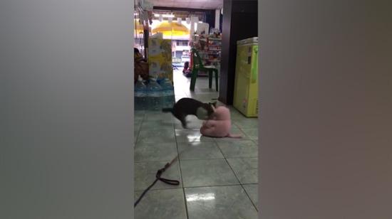 Sinirli kedi oyuncak ayıyı yerden yere vurdu