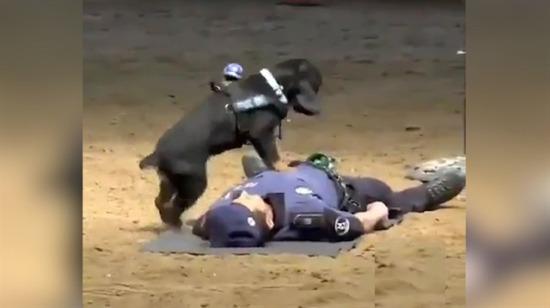 Sahibine kalp masajı yapan K9 köpeği