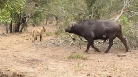 Korkusuz bufalo sürüye saldıran aslanı böyle rezil etti