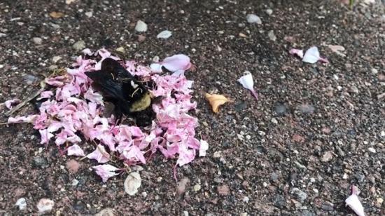 Arı için cenaze töreni düzenleyen karıncalar