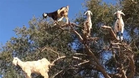 Keçiler ağaçta yetişir