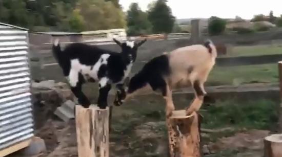 Kendilerine özel yapılmış bahçede koşturan keçiler