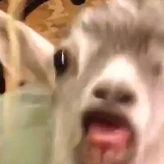 Bebek keçinin spagettiyle imtihanı 👶