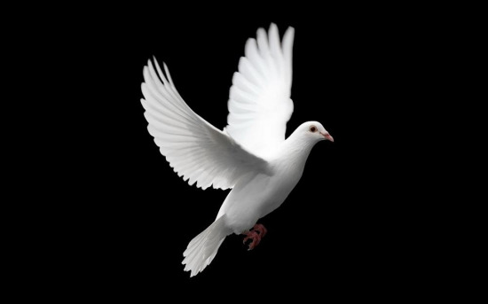 Muhteşem güzellikteki beyaz güvercin