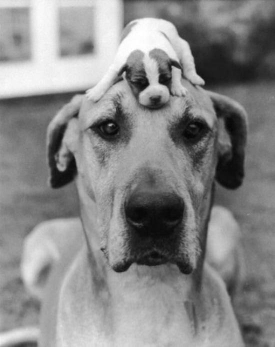 Büyük köpek ve küçük köpek, 1950