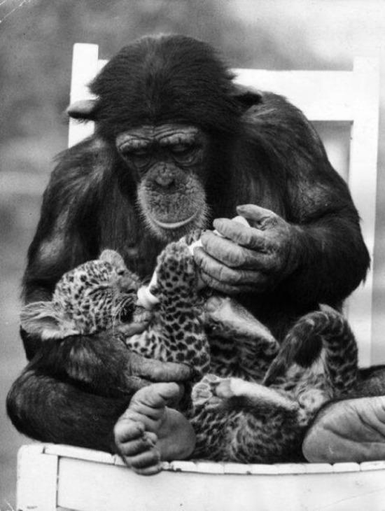 Southam Park Hayvanat Bahçesi'nde bir leopar yavrusu ve bir şempanze, 1971 yılı