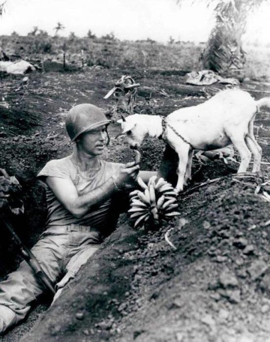 Dünya Savaşında Pasifik'teki Saipan Adasında bir asker muzunu bir keçiyle paylaşıyor. 1944 yılı