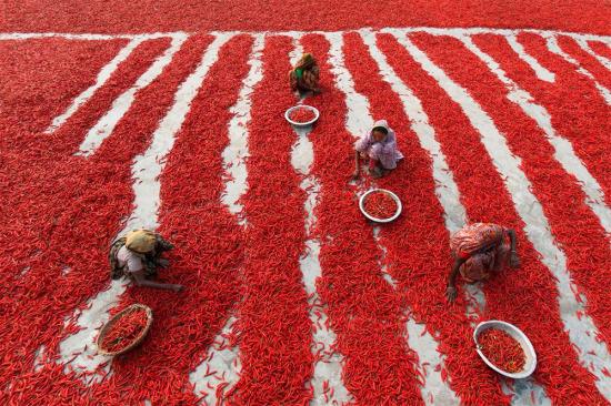 Bangladeş'te biber kurutan kadın işçiler, 10 saat çalışmayla 2$ kazanıyorlar...