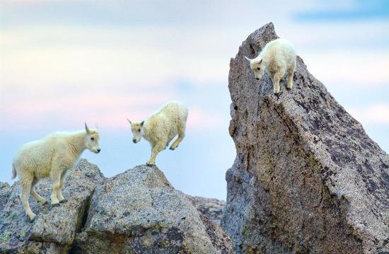 14 bin metrelik yükseklikte bir dağın tepesindeki dağ keçileri, ABD