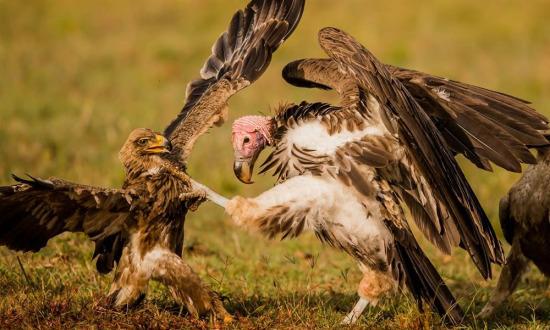 Kenya, Maasai Mara'da bir akbaba ve kartal kavga ediyor