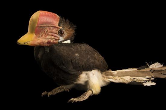 Malezya'daki Penang Kuş Parkı'nda korunan kasklı hornbill