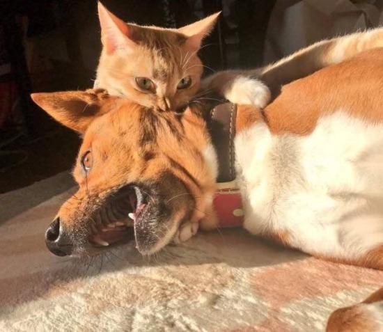 Vampir kedi gariban köylü köpeği ısırıyor
