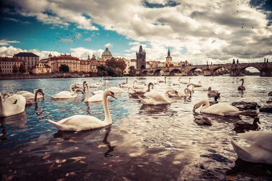 Prag Charles Köprüsü ve kuğular