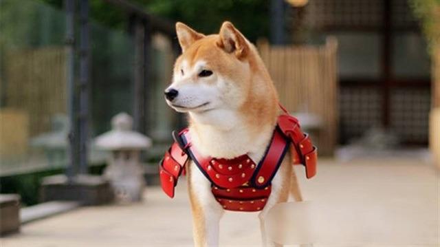 Samurai zırhı giymiş sevimli dostlarımızın bu haline bayılacaksınız