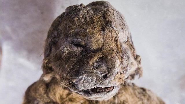 Tarih içimizde: 43 bin 500 yıllık yavru mağara aslanı
