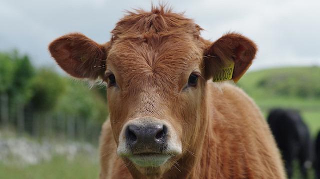 Kars'ta Marya isimli inek onar dakika arayla 'üçüz' doğurdu