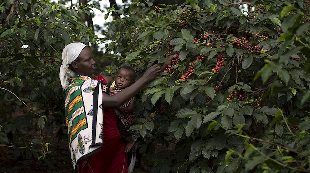 Kahve üreticilerinin 'büyük uyanışı': Çiftlikleri terk ediyorlar