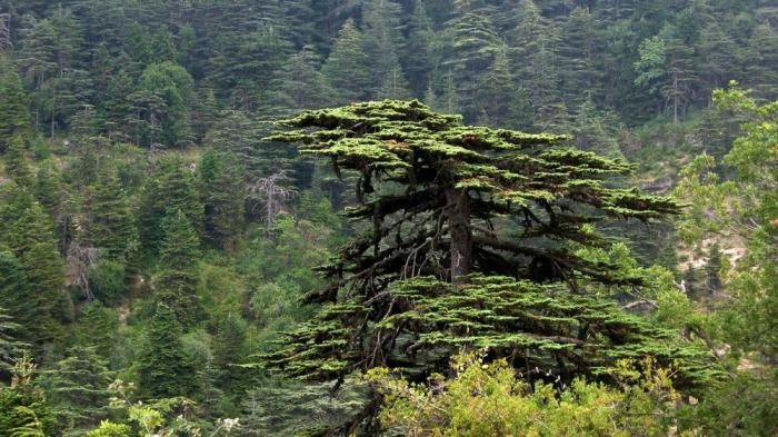 Fenikeliler I - Sedir ağacı